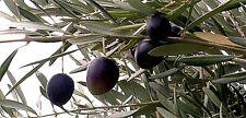 "Olive Tree ""Frantoio"" x 1 small plant. Self-pollinator"