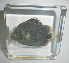 Spotted Scat Fish Scatophagus argus in clear Paperweight Education Specimen