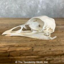 #22247 E+ | Turkey Bird Skull Mount For Sale