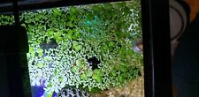 DUCKWEED - LIVE AQUATIC PLANTS FOR AQUARIUM 100+ Pieces