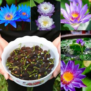 Blue Purple Bowl Lotus Seeds Garden Aquatic Plants