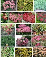 6 Different  Sedum Plug Plants , Alpines, Rockery, Ground cover, All Named