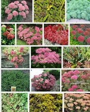 6 Different  Sedum Plug Plants , Alpines, Rockery, Ground cover, All Named