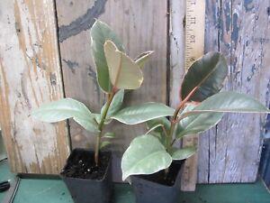 Ficus elastica TINEKE - White and Green Rubber Tree!