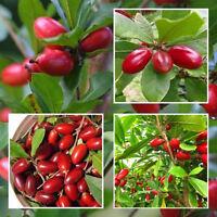 10x graines de fruits miracle synsepalum dulcificum tropical