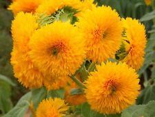 Dwarf Sungold Sunflower✿100 Seeds✿Teddy Bear✿Multiple Chrysanthemum-like Flowers