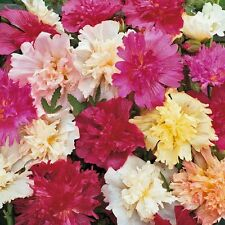 Alcea rosea Queeny Series Dwarf Mixed Colors PERENNIAL Seeds!