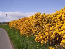 25 Gorse Hedging Bush,Prickly Furze Plants,Fragrant Yellow Whin Evergreen Hedge