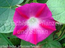 Prunkwinde IPOMOEA Rose vif Purpurea 15 graines frais Balcon Seau