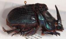 Scarabaeidae Coprophanaeus ensifer 38.6mm Brazil #DU-5 Dung Beetle Heliocopris