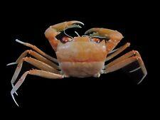 Crab taxidermy 93mm