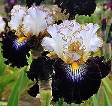 2 Perennial Iris Bulbs Bearded Stunning Flower Garden Home Fancy Glamorous Plant