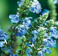 BOG SAGE SALVIA uliginosa sky blue flowers cottage plant in 100mm pot