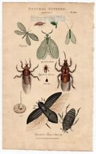 Insects Lace Wings - Fish Fly - Oriental Cockroach 1813 Hand Colored Engraving