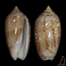 Oliva flammulata, Angola, Olividae sea shell