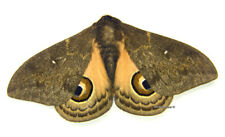 Unmounted Butterfly/Saturniidae - Leucanella aspera, male, A-