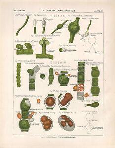 1883 Victoriano Botánico Estampado ~ Vaucheria & Oedogonium