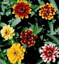50 Zinnia Seeds Persian Carpet Flower Seeds