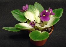 African violet Jolly Mel live plant in pot