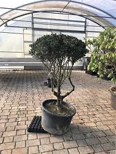 Schirmform, Formgehölz, Japangarten, Ilex meserveae 'Blue Angel' Versand möglich