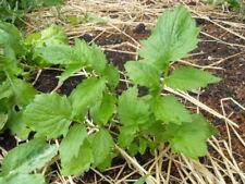 VALERIAN. Valeriana officinalus, Medicinal Herb, Live Plant