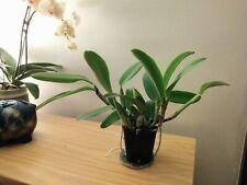 Cattleya nobilor amalae 'Miss Blue' x Blc. Blue Hawaii - Xxl - Fragrant