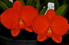 RON. Extra Special Cattleya Orchid - species - C. coccinea 'Royale Raindro(177)