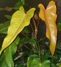 Philodendron 'Autumn Queen' - Aroid