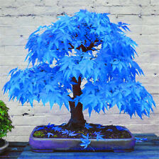30x Rare Blue Japanese Maple Tree Bonsai Seeds Atropurpureum Plant Garden Decor