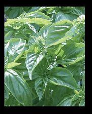 Genovese Basil Fresh 150 Seeds Heirloom culinary Herb plant garden great 4 Pesto