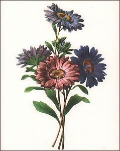 ASTER FLOWER, BOTANICAL, VINTAGE PRINT, AUTHENTIC 1950*
