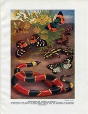 c1900 EXOTIC BUTTERFLY WASP SALAMANDER  Antique Litho Print W.Bolsche