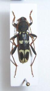 Cerambycidae: Isotomus comptus