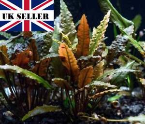 5 x cryptocoryne wendtii brown with roots UK grown