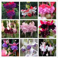 100 Pieces Fuchsia Seeds Lantern Flower Bonsai Colorful Perennial Flowers Plants