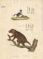 Antique Print-PHALANGISTA-PETAURUS-GLIDER-Goldfuss-1824