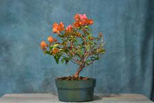 Showy 'Rosenka' Bougainvillea pre-bonsai! Colorful Flowers Year-Round