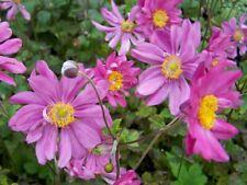 ANEMONE JAPONICA PAMINA Perennial Plant Hardy Sun Shade UK Nursery 3L Potted