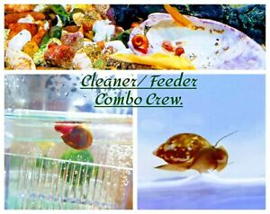 20+ Live Ramshorn and Tadpole/ Bladder Snails Combo pack Crew, Mixed size