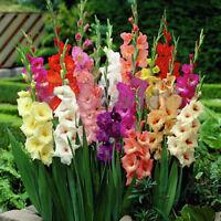 2tlg Gladiolen Großblumig Gemischt Blumenzwiebeln Gladiolus Garten Pflanze Set