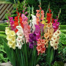 2tlg Gladiolen Großblumig Gemischt Blumenzwiebeln Garten Pflanze-Set HOT SELL