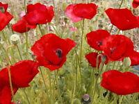 10,000 American Legion Poppy Seeds FLOWER SEEDS