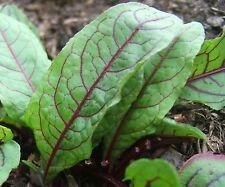 Sorrel Seeds- Blood-Veined- Heirloom Green- 200+ Seeds        $1.69 Max Shipping