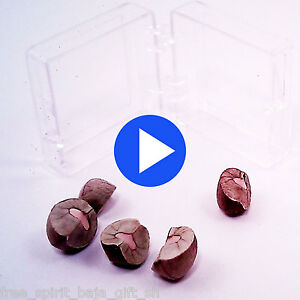5 LIVE Magic Mexican Jumping Beans ** Fresh 2020 Crop  ** The Real Deal