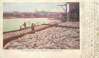 Puget Sound Washington~Men Spear Fish~300 Salmon Fish~1906 Postcard