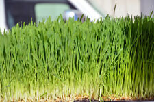 Seeds, 4 Pounds, Oatgrass, Cat Oat Grass Dog Antioxidant Pets Avena Sativa pasto