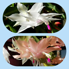 2 Christmas Cactus Starter Plants Schlumbergera: White and Yellow/Pink