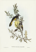 JOHN GOULD NEW HOLLAND HONEY-EATER VINTAGE AUSTRALIAN BIRD ART PRINT POSTER