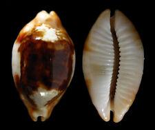 Conchiglia Shell CYPRAEA STOLIDA NIGER & ROSTRATE N.Caledonia 37 mm