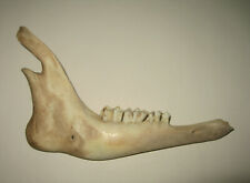 "Real 6"" Goat Jaw Bone Mandible Animal Teeth Mammal Taxidermy Skull Ram Sheep"